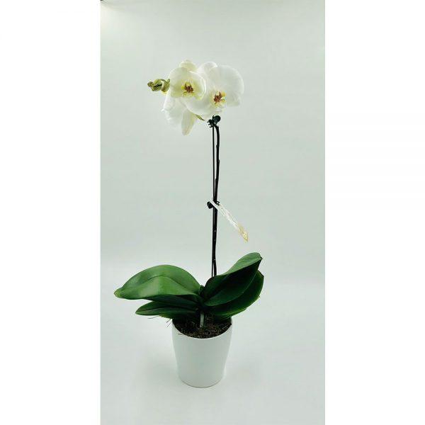 Single white phalaenopsis 1